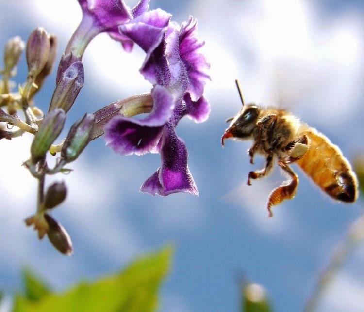 polinização-de-flores-por-abelhas