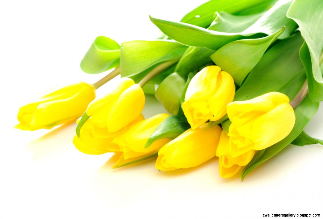 Yellow tulips 16472   Tulip   Flowers