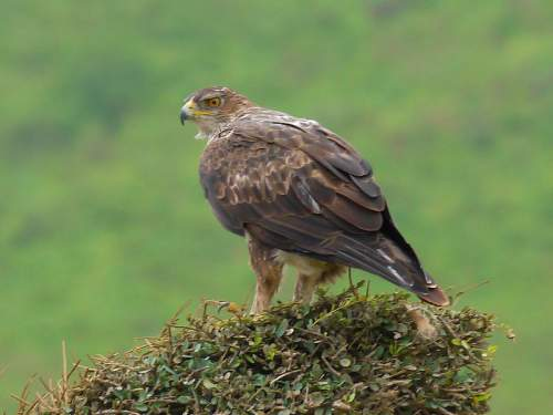 Birds of India - Picture of Bonelli's eagle - Aquila fasciata