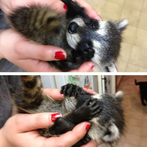 Funny animals of the week - 13 December 2013 (40 pics), cute baby raccoon