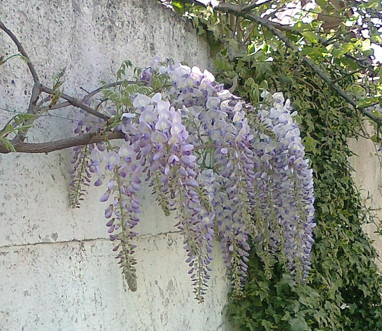 Mis tejidos y otras hierbas flor de la pluma - Glicinia en maceta ...