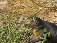 Land Iguana North Seymour Island Galapagos Islands, Ecuador