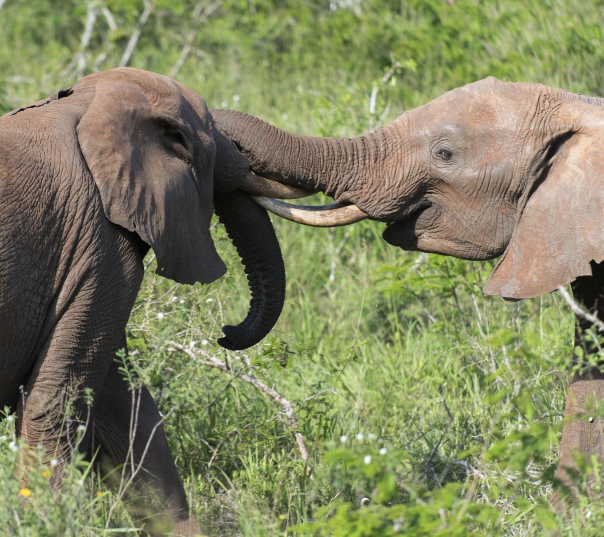 Elefanten, Elephants, kenya, kenia, Lumo, Tsavo, Safari, afrika, africa