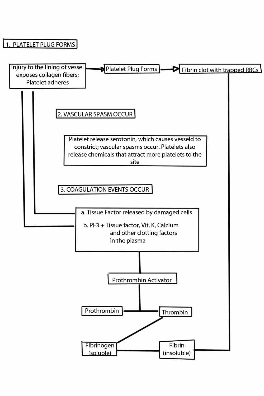 Hemostasis Anatomy And Physiology Of Blood