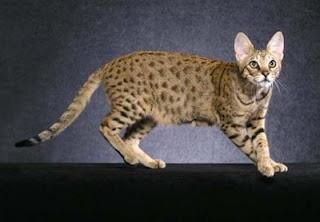 Kucing Savanah persilangan Kucing Liar Afrika dengan Kocing Lokal