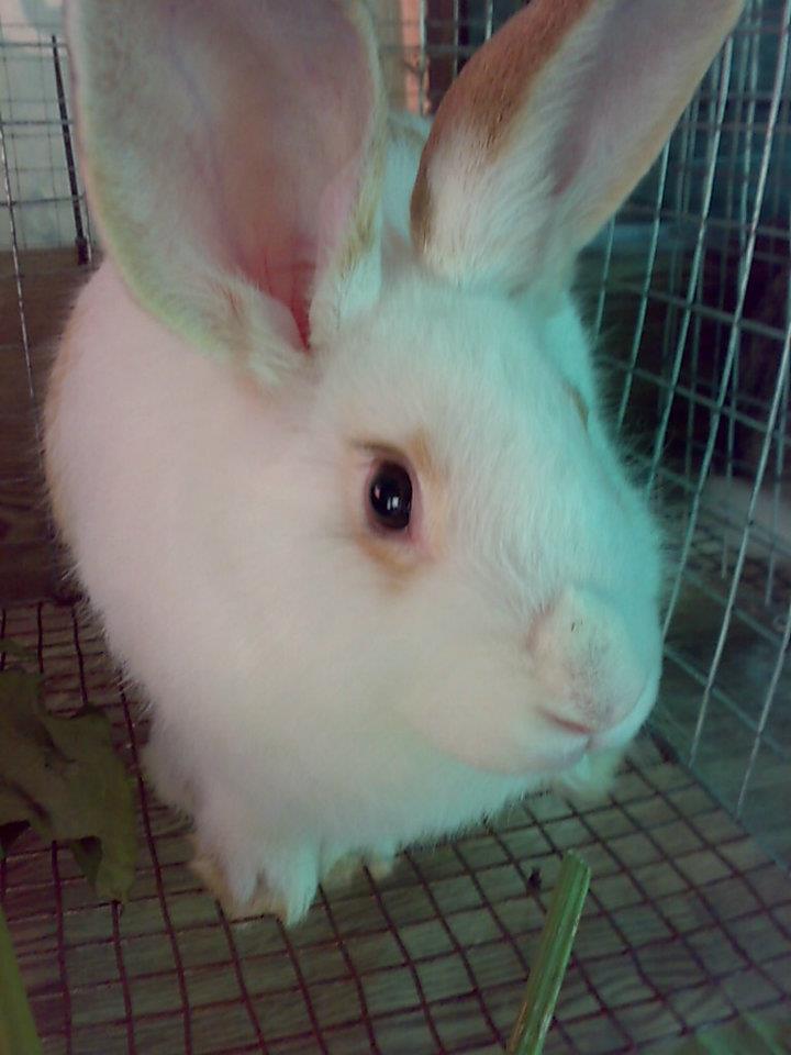 Raising Rabbits: Advantages in Small Backyard Rabbitry