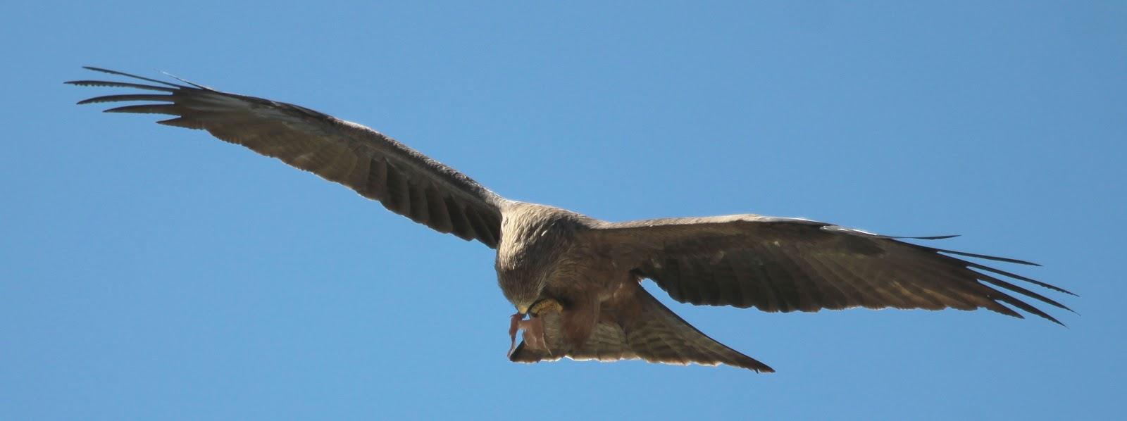 richard waring u0027s birds of australia kites around the backyard