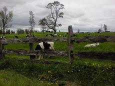 Vacas en el potrero