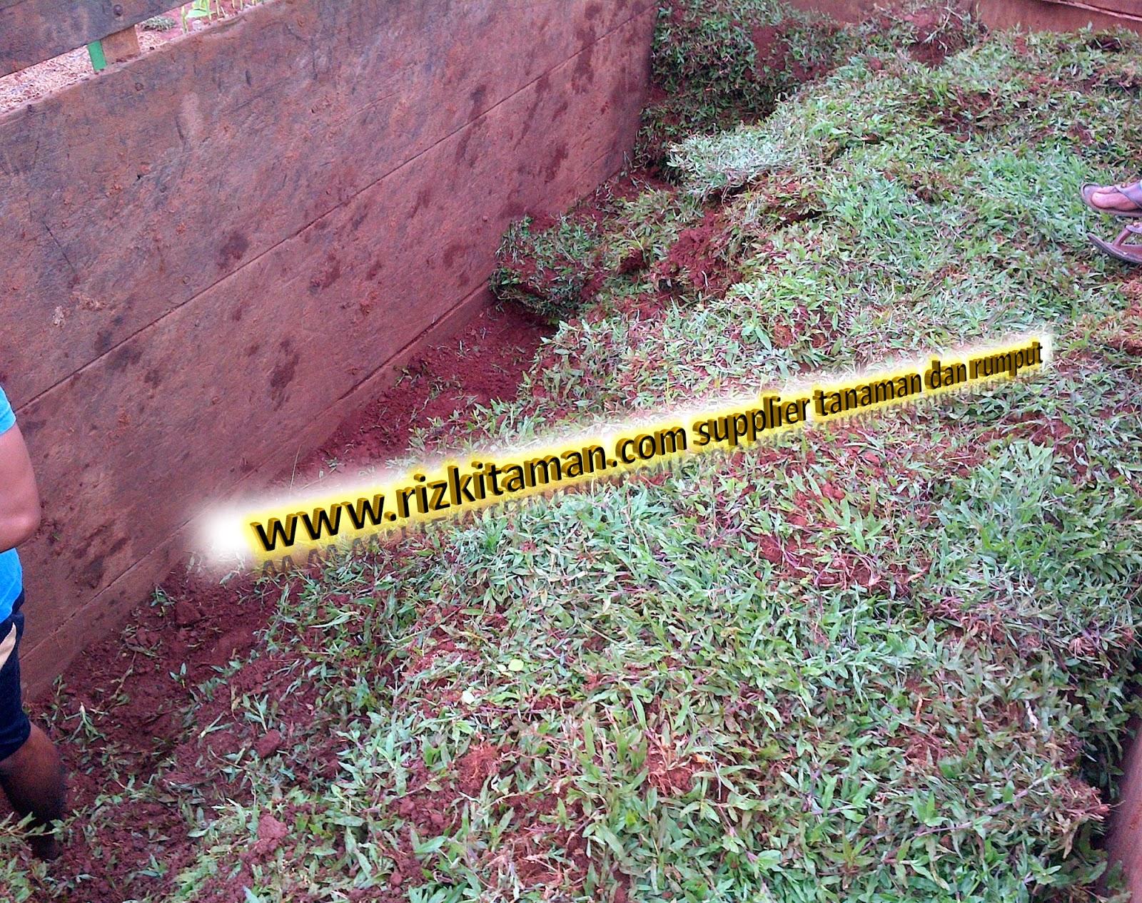 Jual rumput gajah | solusi pertamanan | suplier tanaman dan rumput