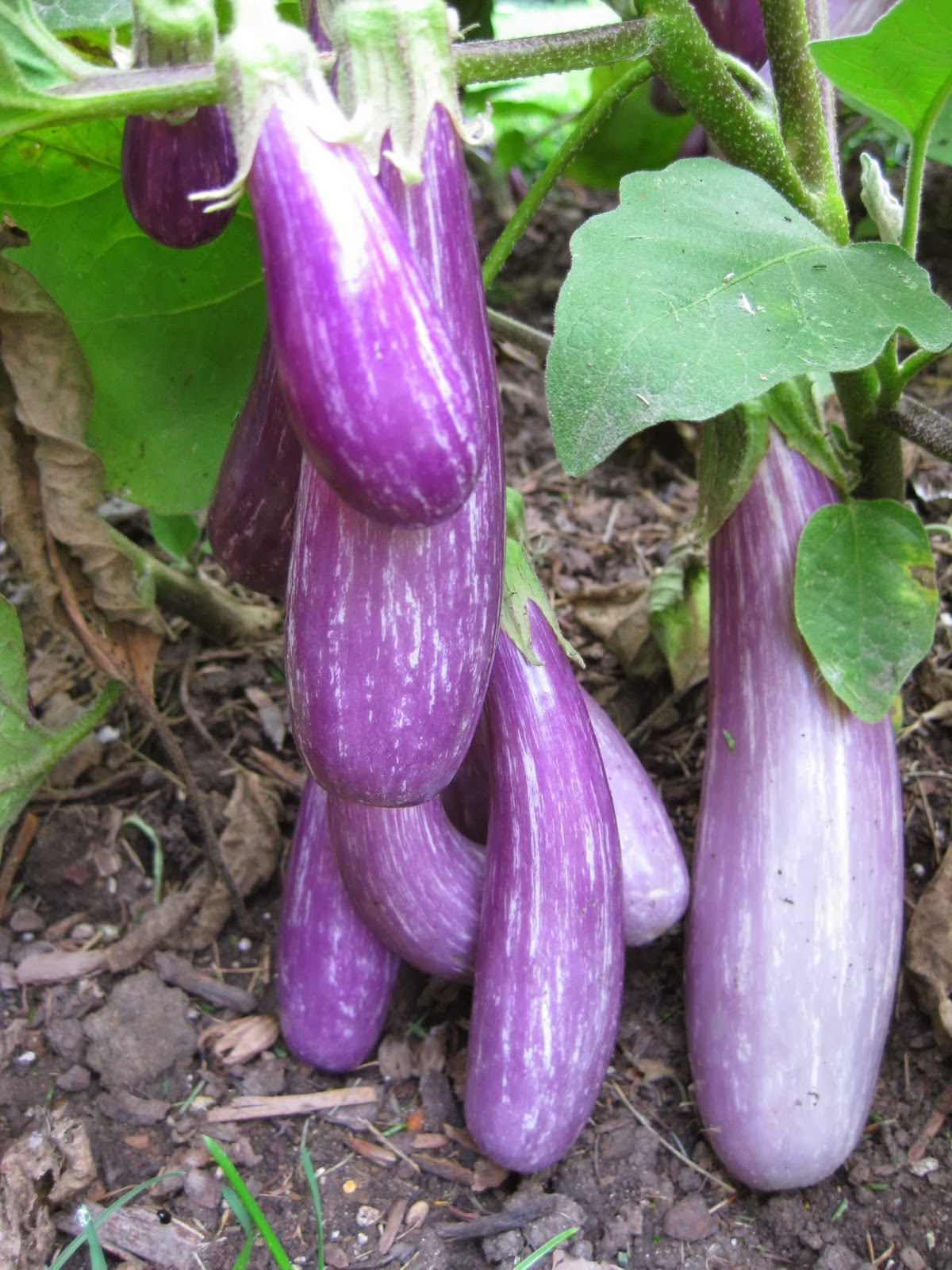 awesome aubergines - Coloration Aubergine