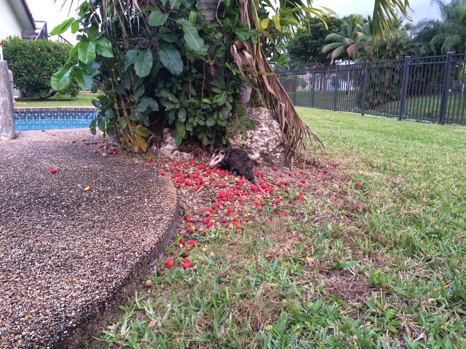 alohamiscreant the backyard possum aka pool pah