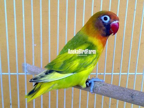 love bird perso pied gs hewan indonesia dan jual beli