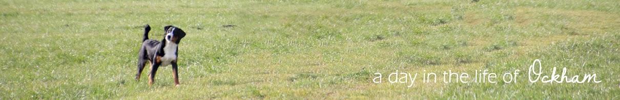 Ockham, Appenzeller Sennenhund