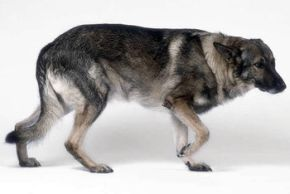 Dog Behaviour Paw Lift