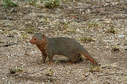 serengeti mongoose