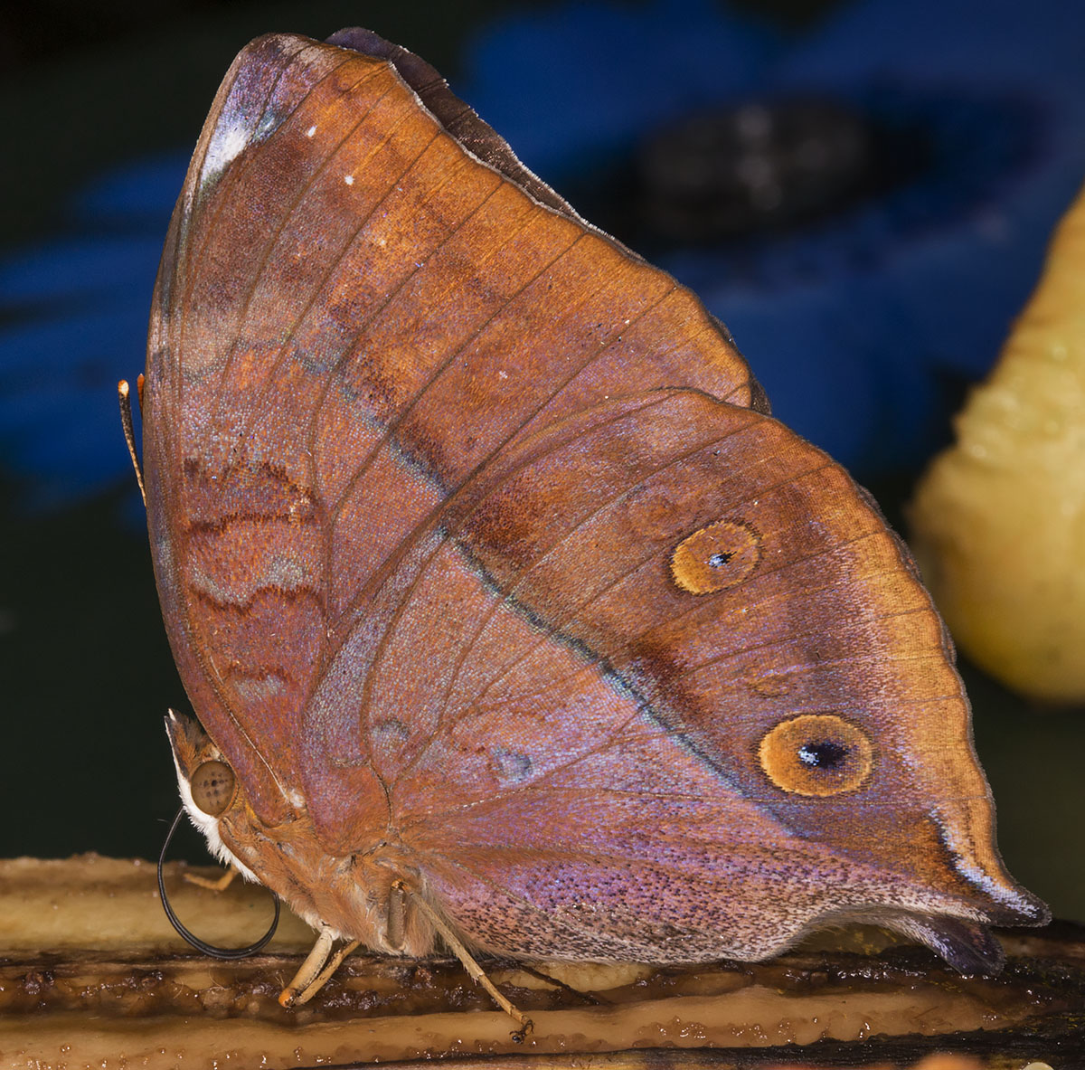 Common Leafwing, Doleschallia bisaltide.  Wisley Gardens, Butterflies in the Glasshouse, 10 February 2015.
