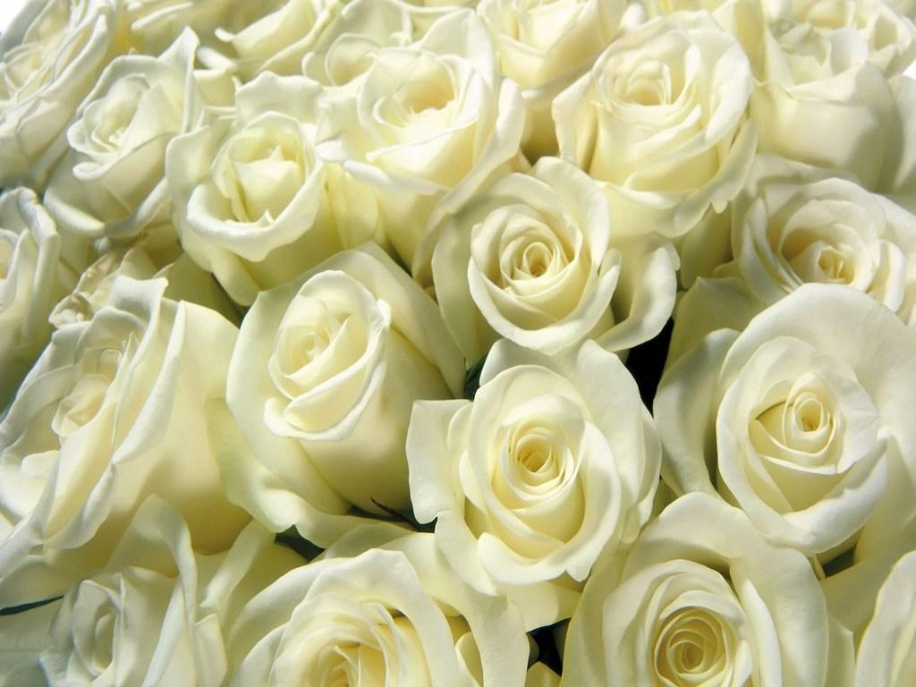 As rosas brancas