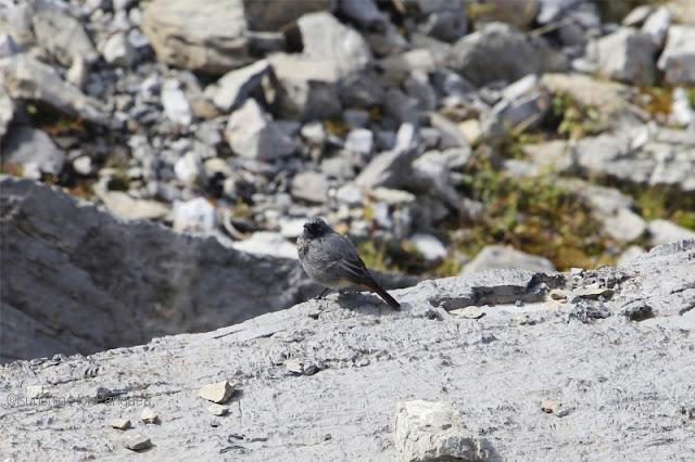 Hausrotschwanz in den Alpen