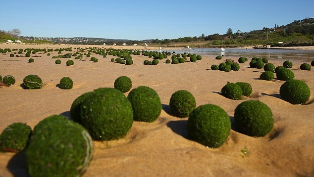http://www.dailymail.co.uk/news/article-2763283/Where-did-green-alien-eggs-come-Scientists-baffled-UFOs-Unidentified-Floating-Objects-washed-Sydney-beach.html