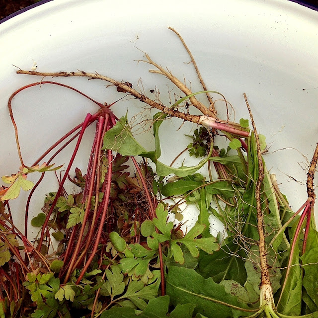 weedy gleanings from the dye garden, in a large enamel bowl