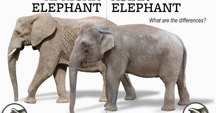 Asian Elephant African Elephant