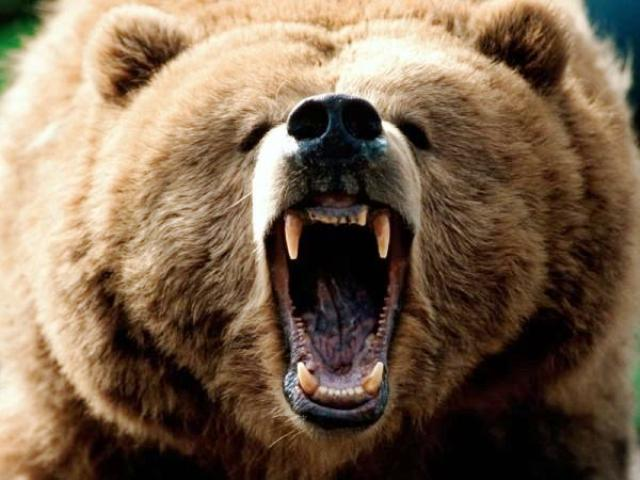 Grizzly bear attack   ...