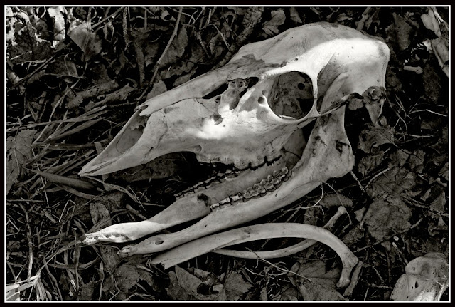 Dead; Death; Bones; Future Fossils; Decay; Skeleton; Deer; Skull