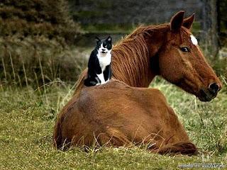 ამხედრებული კატა