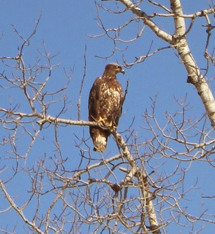 immature, bald, eagle, ely, Minneosta, john huisman