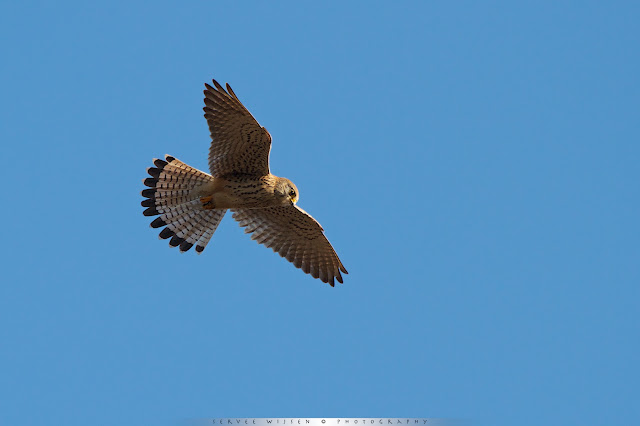 Torenvalk (v) - Common Kestrel (f) - Falco Tinnunculus