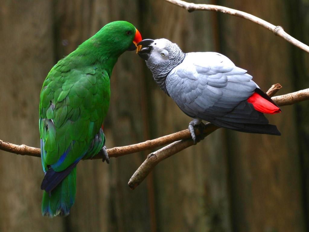 http://3.bp.blogspot.com/-3iEw_Vbo5J8/T3faWhBS6cI/AAAAAAAAEQI/CMlPrQJgL5k/s1600/love_parrots-1024x768.jpg