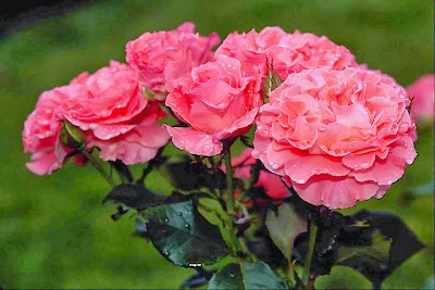 beautiful_pink_rose_image
