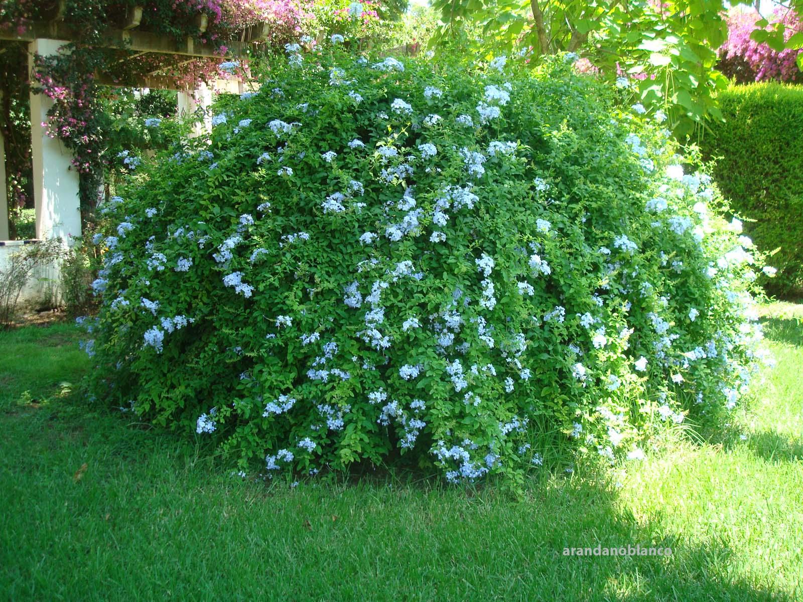 arbustosensevilla encinarosa jazmines jasminum