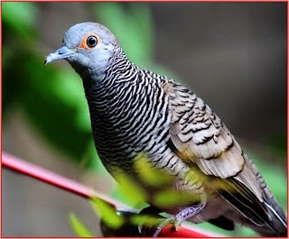 Gambar Cara Merawat Burung Derkuku