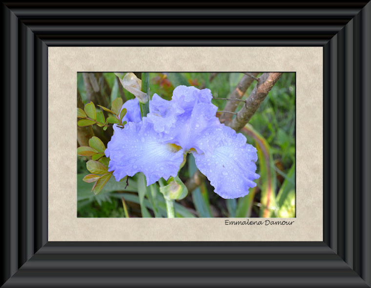 Raindrops on Blue Iris