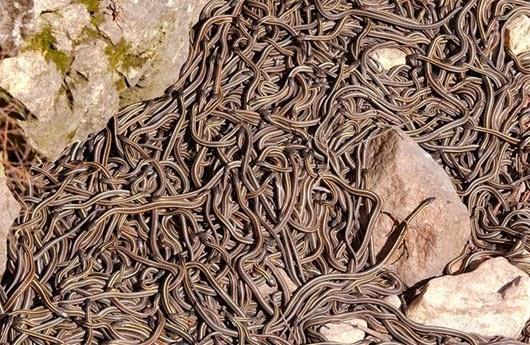 Rùng mình thăm quan động rắn khổng lồ ở Canada