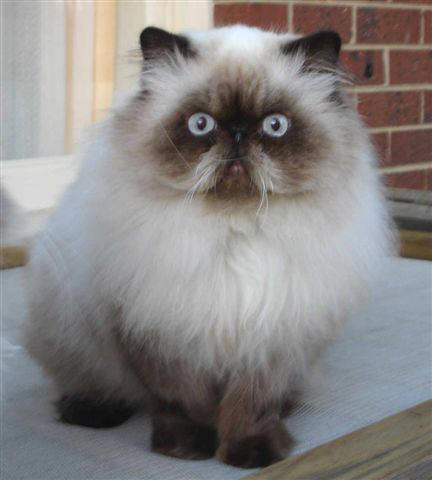 himalayans cat Himalayans are a medium-sized sub-breed of longhair cat they are almost identical to persians except that they have brilliant blue eyes and the colorpoint markings of a siamese that means they have creamy bodies with a darker face, ears, feet, and tail.