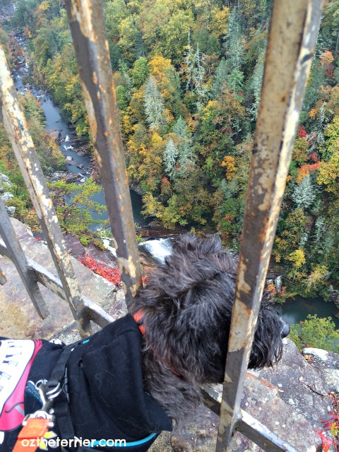 Oz the Terrier enjoys the view from an overlook at Tallulah Gorge State Park, Georgia