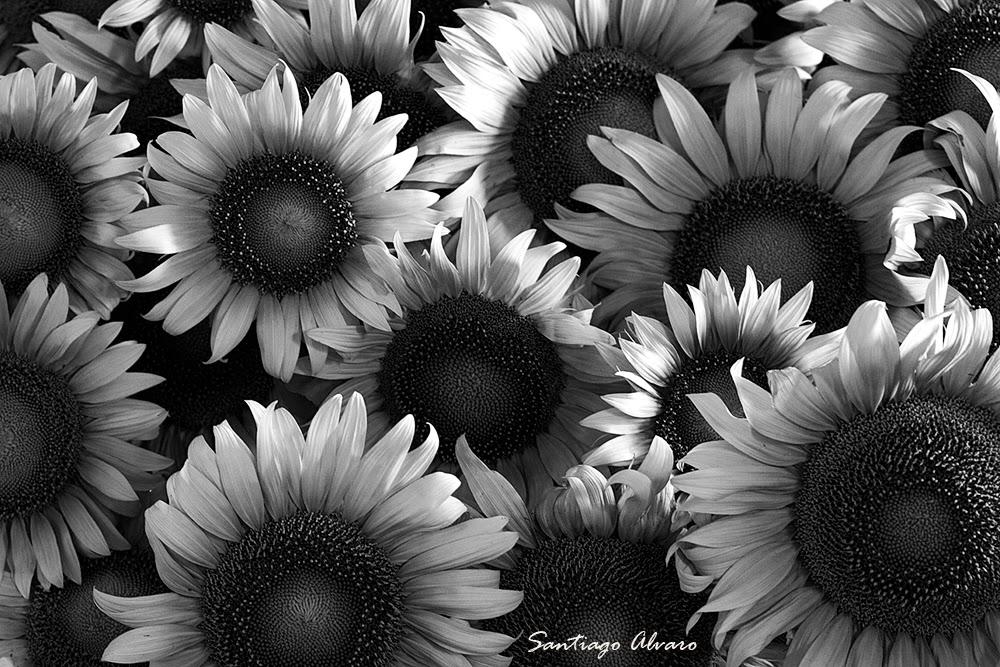 Girasoles blanco y negro mirada for Imagenes bonitas en blanco y negro