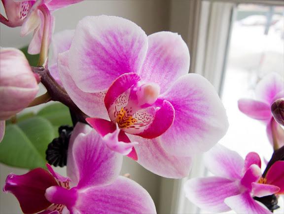 Rosa orkide 2