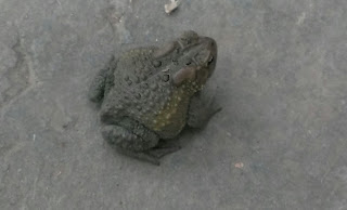 green toad on cement