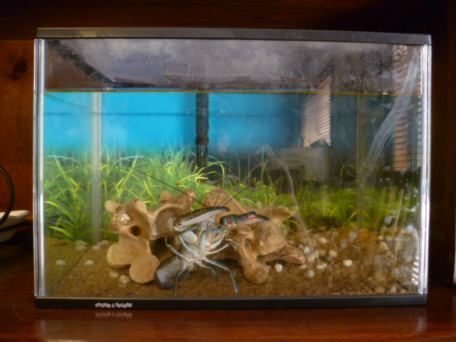 Pet yabby: Setting up a tank for a pet yabby