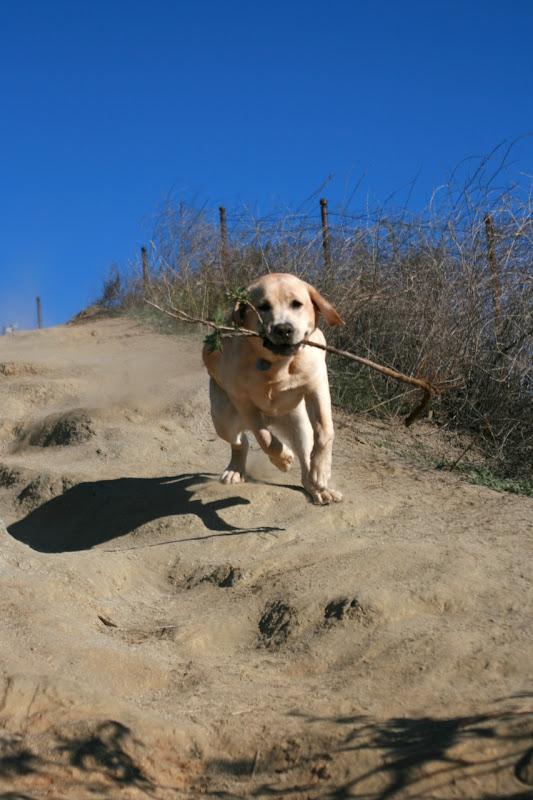 Labrador pup Runyon Canyon