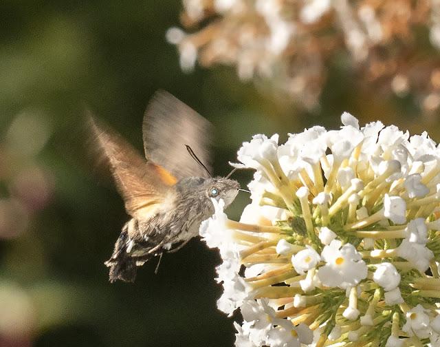 Hummingbird Hawkmoth, Macroglossum stellatarum, in my garden in Hayes.  29 August 2015.