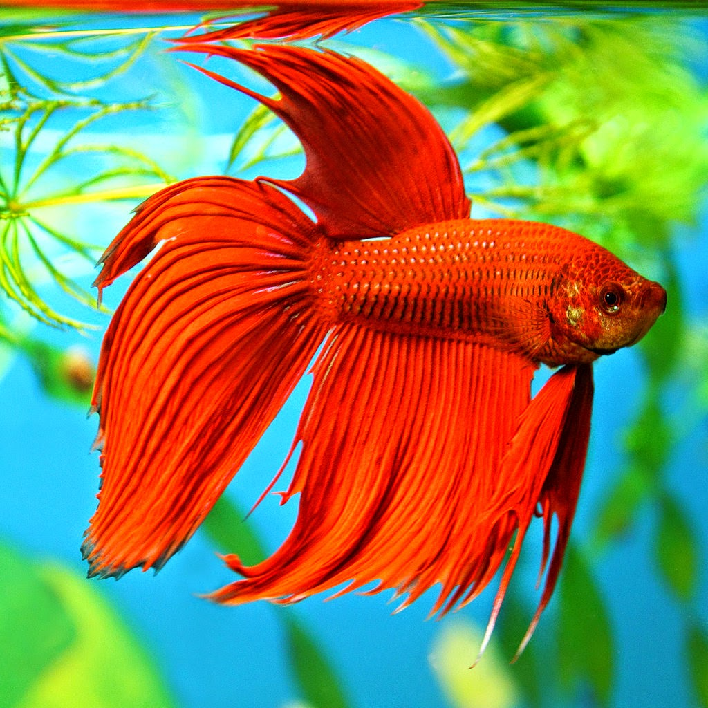 Betta fish photos wallpapers the fun bank for Betta fish habitat