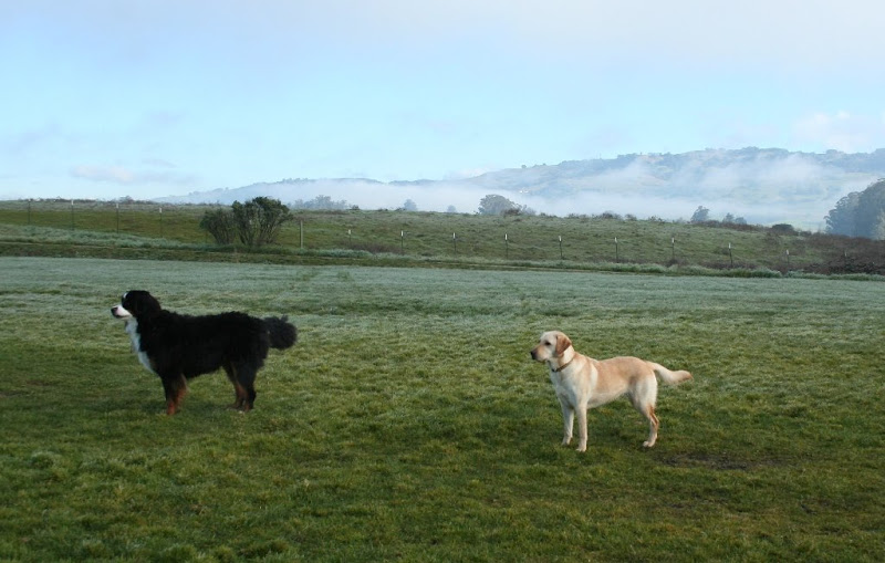 cabana and big bernese mountain dog standing on grass with hills in the background, clouds are clearing and sky is turning from grey to blue