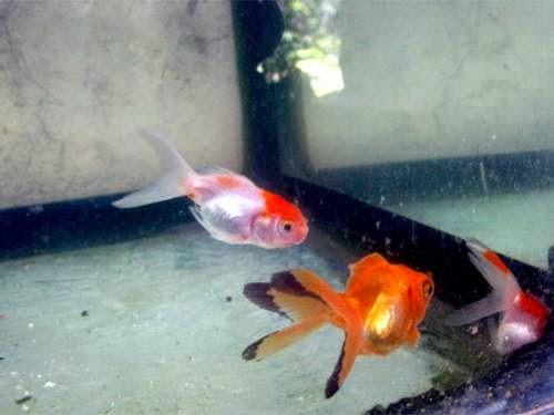More Goldfish Babies
