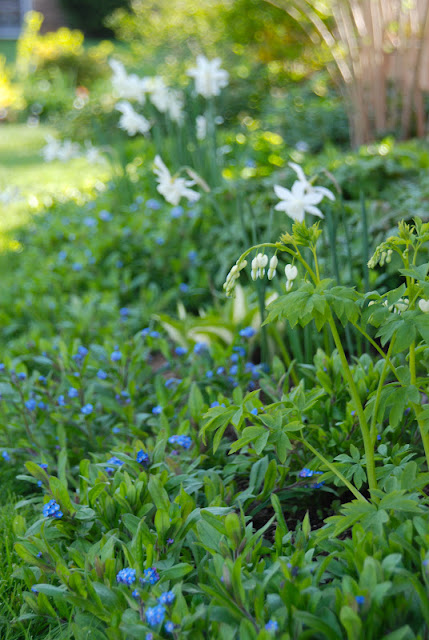 Dicentra spectabilis 'Alba' (Bleeding hearts), Narcissus 'Thalia' and Myosotis (Forget-me-nots) in the Shade Path Garden.