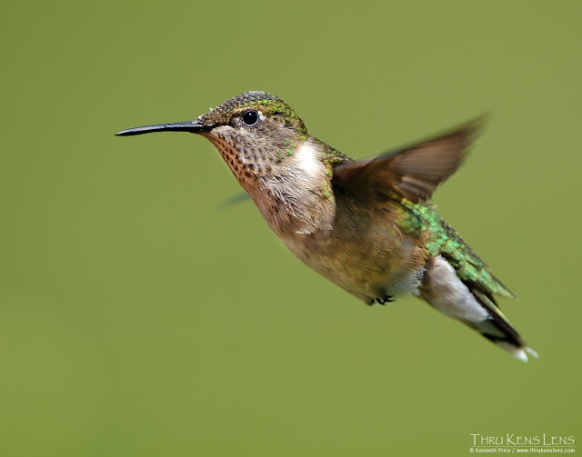 Female_Ruby-Throated Hummingbird