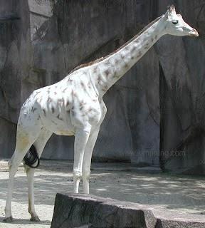White giraffe .